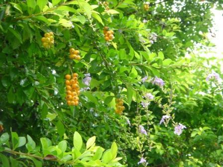 黄色い実と紫の花