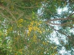 黄色い花のソウシジュ